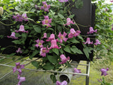 Clematis Queen Mother, Small Flowered Clematis - Brushwood Nursery, Clematis Specialists