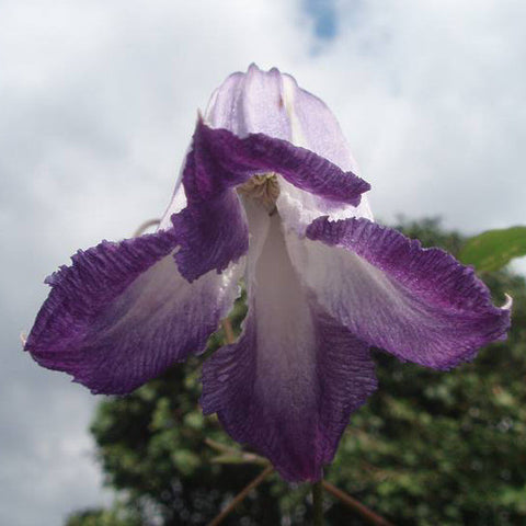 Clematis texensis Radiance