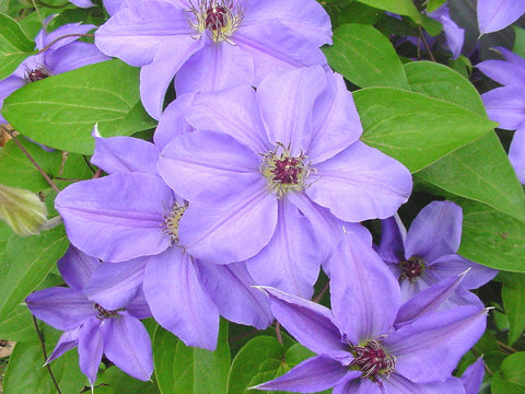 Clematis Ramona, Large Flowered Clematis - Brushwood Nursery, Clematis Specialists