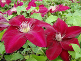 Clematis Rebecca, Large Flowered Clematis - Brushwood Nursery, Clematis Specialists