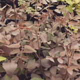 Clematis recta Purpurea Compacta, Non-Vining Clematis - Brushwood Nursery, Clematis Specialists