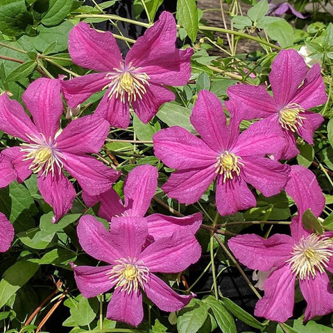Clematis Remembrance, Large Flowered Clematis - Brushwood Nursery, Clematis Specialists