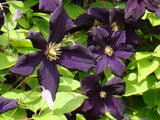 Clematis Romantika, Large Flowered Clematis - Brushwood Nursery, Clematis Specialists