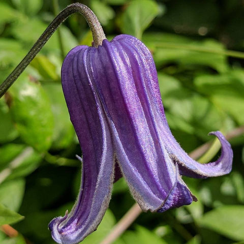 Clematis Rooguchi, Small Flowered Clematis - Brushwood Nursery, Clematis Specialists
