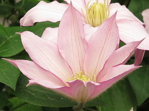 Clematis Rose Supreme, Large Flowered Clematis - Brushwood Nursery, Clematis Specialists