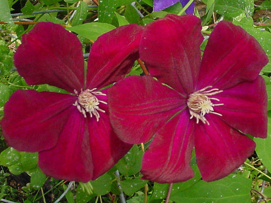 clematis rouge cardinal brushwood nursery clematis. Black Bedroom Furniture Sets. Home Design Ideas