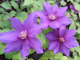 Clematis Sacha, Large Flowered Clematis - Brushwood Nursery, Clematis Specialists
