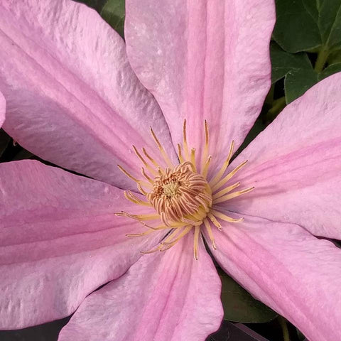 Clematis Sally, Large Flowered Clematis - Brushwood Nursery, Clematis Specialists