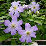 Clematis Sea Breeze, Small Flowered Clematis - Brushwood Nursery, Clematis Specialists