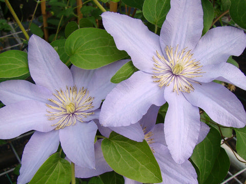 Clematis Silver Moon, Large Flowered Clematis - Brushwood Nursery, Clematis Specialists
