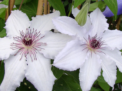 Clematis Snow Queen, Large Flowered Clematis - Brushwood Nursery, Clematis Specialists
