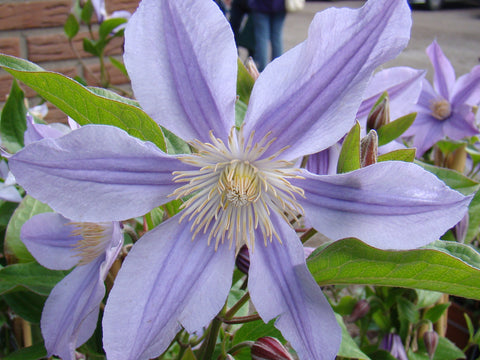Clematis Star River, Small Flowered Clematis - Brushwood Nursery, Clematis Specialists