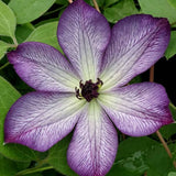 Clematis Super Nova, Small Flowered Clematis - Brushwood Nursery, Clematis Specialists