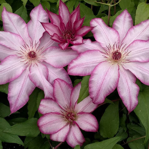 Clematis Tae, Large Flowered Clematis - Brushwood Nursery, Clematis Specialists