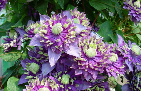 Clematis Taiga, Large Flowered Clematis - Brushwood Nursery, Clematis Specialists