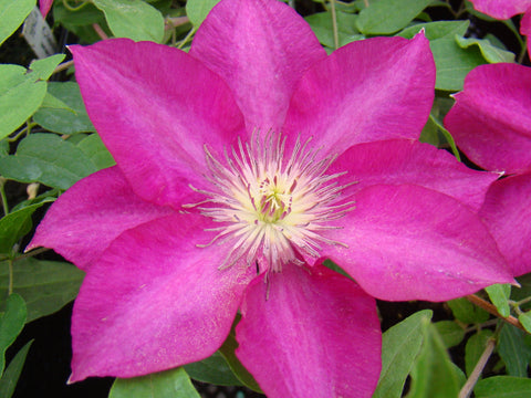Clematis Tekla, Large Flowered Clematis - Brushwood Nursery, Clematis Specialists