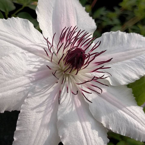 Clematis The Countess of Wessex, Large Flowered Clematis - Brushwood Nursery, Clematis Specialists