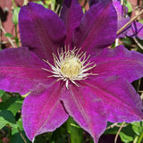 Clematis The Vagabond, Large Flowered Clematis - Brushwood Nursery, Clematis Specialists
