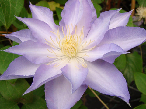 Clematis Thyrislund, Large Flowered Clematis - Brushwood Nursery, Clematis Specialists