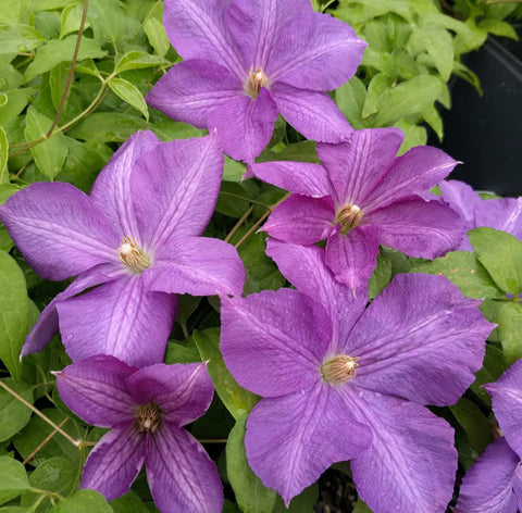 Clematis Victoria, Large Flowered Clematis - Brushwood Nursery, Clematis Specialists
