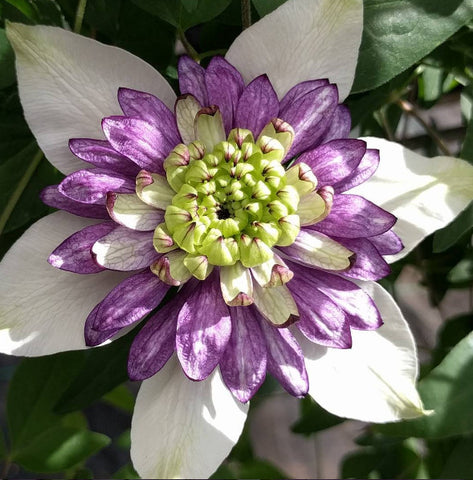 Clematis Viennetta, Large Flowered Clematis - Brushwood Nursery, Clematis Specialists