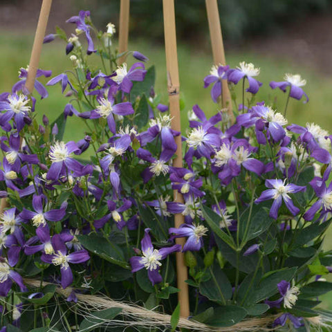 Clematis Violet Stardust, Non-Vining Clematis - Brushwood Nursery, Clematis Specialists