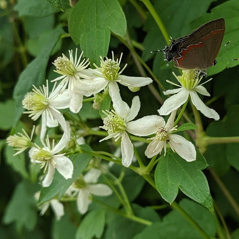 Clematis virginiana, Native Vines - Brushwood Nursery, Clematis Specialists