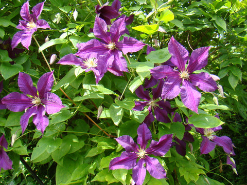 Clematis Vostok, Large Flowered Clematis - Brushwood Nursery, Clematis Specialists