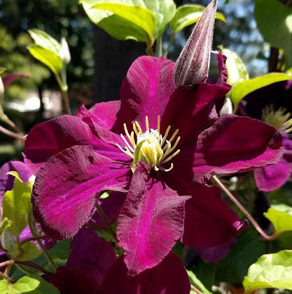 Clematis Warsaw Nike, Small Flowered Clematis - Brushwood Nursery, Clematis Specialists
