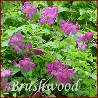 Clematis Abundance, Small Flowered Clematis - Brushwood Nursery, Clematis Specialists