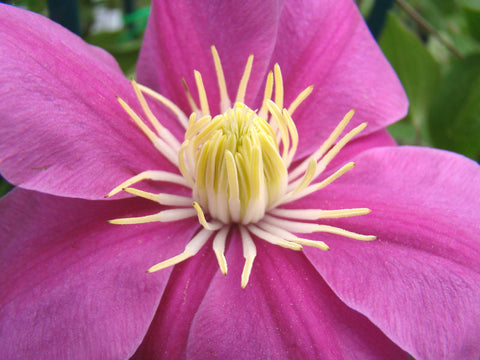 Clematis Alaina, Large Flowered Clematis - Brushwood Nursery, Clematis Specialists