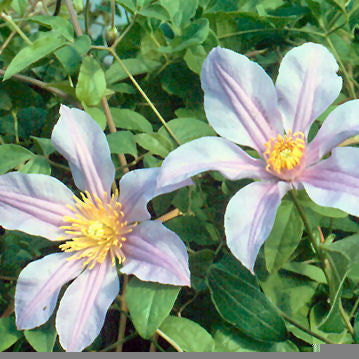 Clematis Amelia, Non-Vining Clematis - Brushwood Nursery, Clematis Specialists