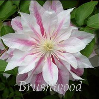 Clematis Andromeda, Large Flowered Clematis - Brushwood Nursery, Clematis Specialists