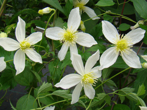 Clematis Anita, Small Flowered Clematis - Brushwood Nursery, Clematis Specialists
