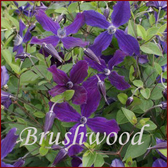 Clematis Aphrodite, Large Flowered Clematis - Brushwood Nursery, Clematis Specialists