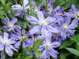 Clematis Arabella, Small Flowered Clematis - Brushwood Nursery, Clematis Specialists