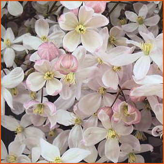 Clematis armandii Apple Blossom, Small Flowered Clematis - Brushwood Nursery, Clematis Specialists