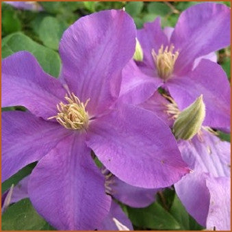 Clematis Ascotiensis, Large Flowered Clematis - Brushwood Nursery, Clematis Specialists