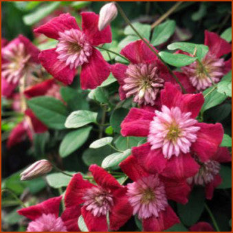Clematis Avant-Garde, Small Flowered Clematis - Brushwood Nursery, Clematis Specialists