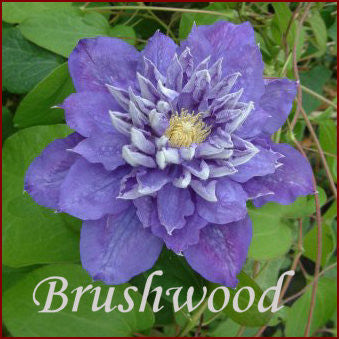 Clematis Beauty of Worcester, Large Flowered Clematis - Brushwood Nursery, Clematis Specialists