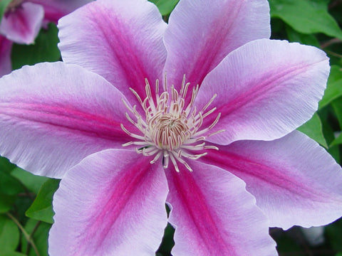 Clematis Bees Jubilee, Large Flowered Clematis - Brushwood Nursery, Clematis Specialists