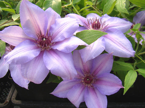 Clematis Candy Stripe, Large Flowered Clematis - Brushwood Nursery, Clematis Specialists