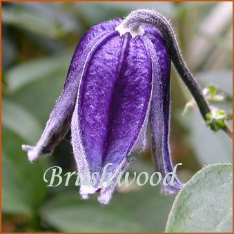 Clematis Carol Lim, Small Flowered Clematis - Brushwood Nursery, Clematis Specialists