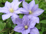 Clematis Cezanne, Large Flowered Clematis - Brushwood Nursery, Clematis Specialists