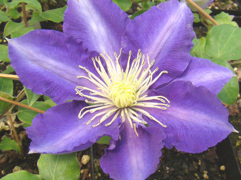 Clematis Chevalier, Large Flowered Clematis - Brushwood Nursery, Clematis Specialists
