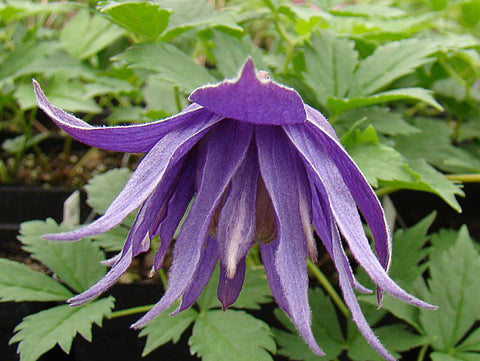 Clematis Clochette Pride, Small Flowered Clematis - Brushwood Nursery, Clematis Specialists