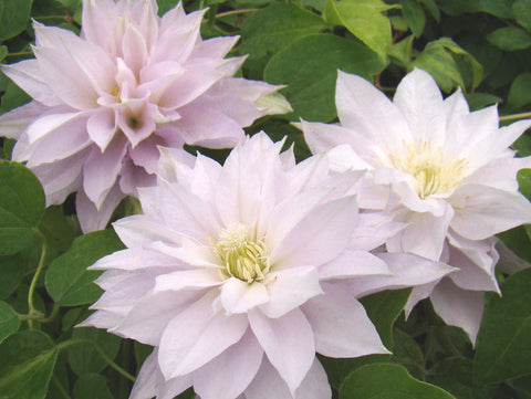 Clematis Dancing Queen, Large Flowered Clematis - Brushwood Nursery, Clematis Specialists