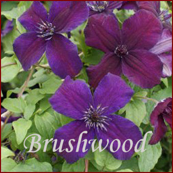 Clematis Dark Eyes, Small Flowered Clematis - Brushwood Nursery, Clematis Specialists