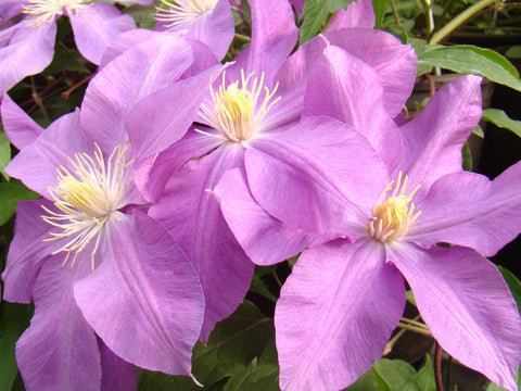Clematis Dorothy Tolver, Large Flowered Clematis - Brushwood Nursery, Clematis Specialists