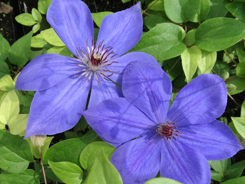 Clematis Elsa Spath, Large Flowered Clematis - Brushwood Nursery, Clematis Specialists